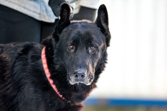 Zohan- czarny duży pies bez szans na adopcje