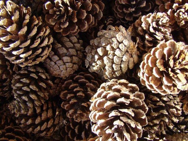 Saco de Pinhas - Inverno