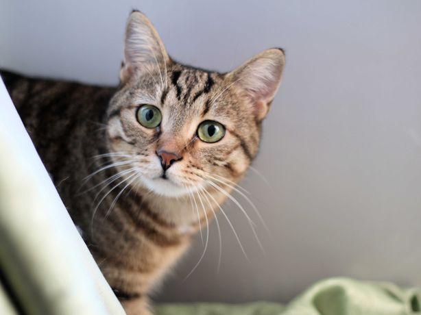 Умная ласковая красотка кошка 10 месяцев стерилизована