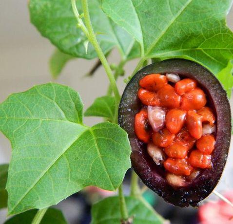 Plantas de Maracujá Passiflora Morifolia