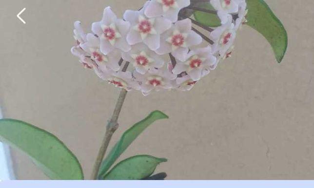 Planta hoya flor cor de rosa claro quase branco