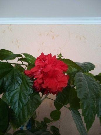 Гібіскус (вазон китайська роза)