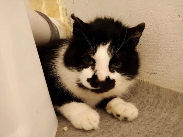 Piękna kocia emerytka Muszelka do adopcji
