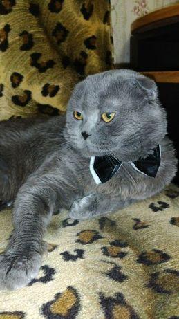 Шотландец веслоухий Вязка ( кот жених )