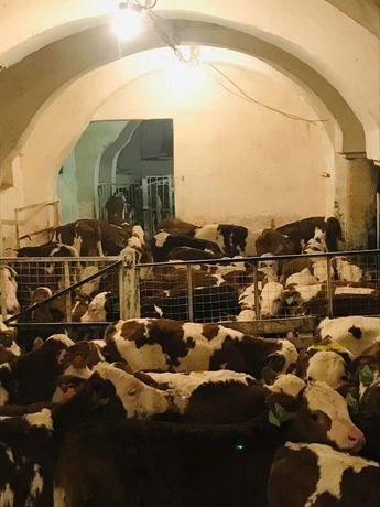 Cielęta Simental 100% Byczki Mięsne Świetny Towar
