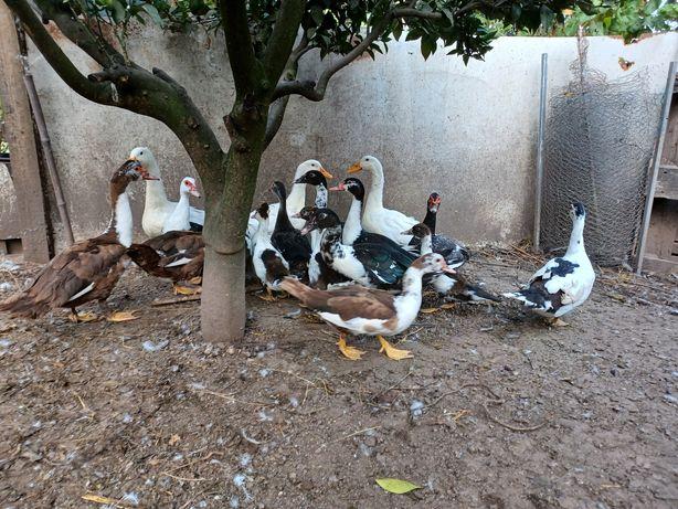 Patos Mudos Varias Idades