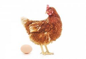 Ломан браун несушка. Яйцо инкубационное.