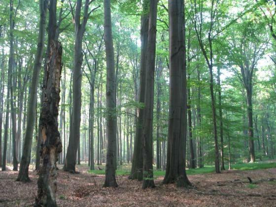 Korzenie karpy pnie drzew po wycince 60ha oddam. Na zrębkę recyklerem.
