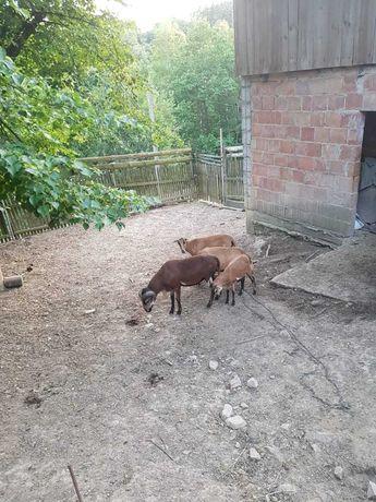 Owce i Barany Tryk Kameruńskie 4 zwierzątka