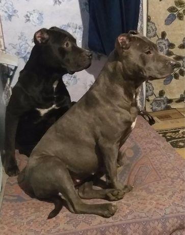 Украдена собака АПБТ !!!