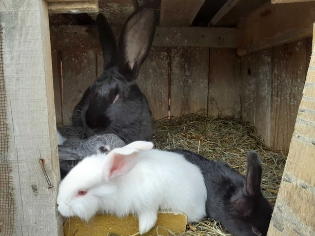 Młode króliki samce i samice