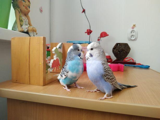 Хвилясті папужки! Папугай, попуга, попугай, волнистик, попуга, попуг
