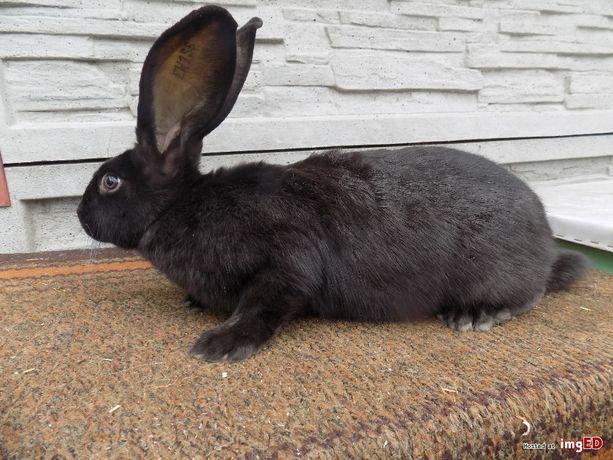 Króliki królikii