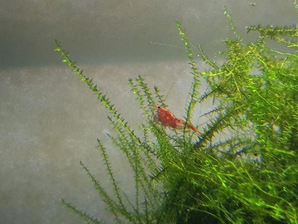 Krewetki Czerwone Sakura Red
