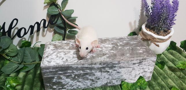 Szczury szczurki dużo kolorów sierść fuzz rex i standard