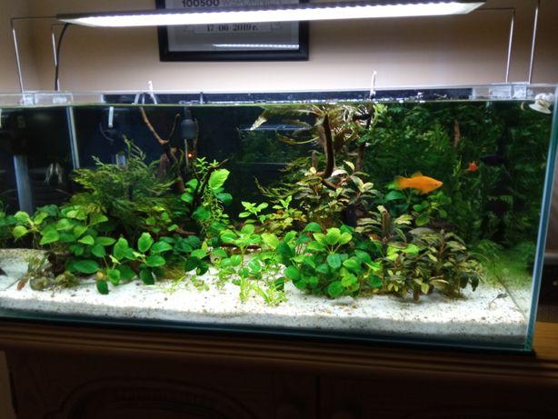 Bucki, anubiasy Rośliny akwariowe