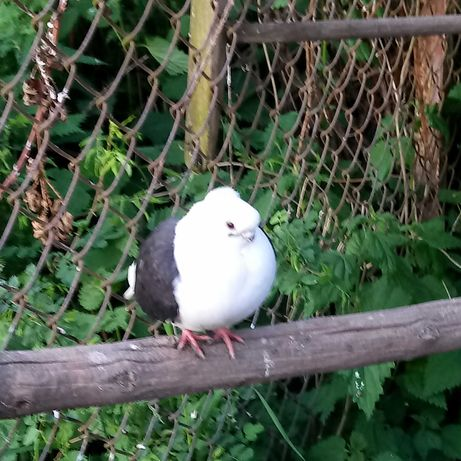 Mewki tarczowe, samiczka. Newki, gołębie.