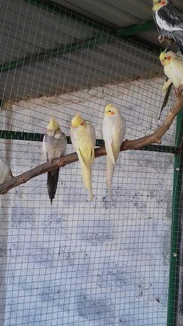Продажа попугаев карелл 0713288566