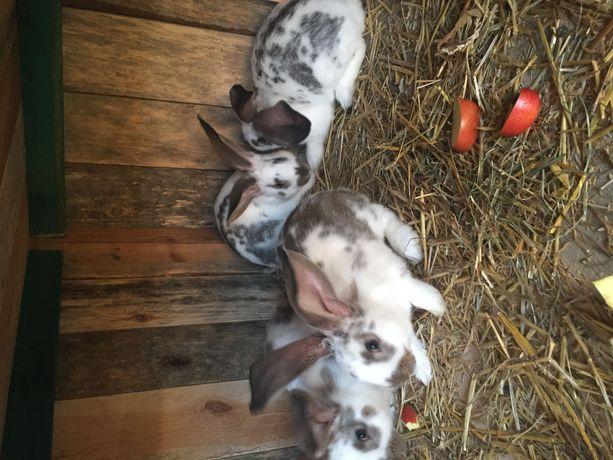 króliki młode mieszane