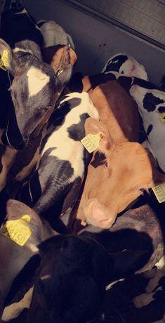 Sprzedam byczki mięsne