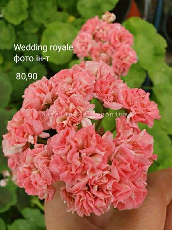 Wedding royale пеларгонія