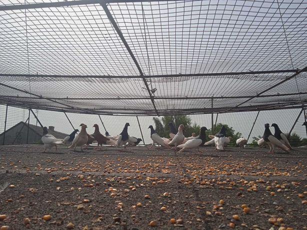 Gołębie murzyny korniate