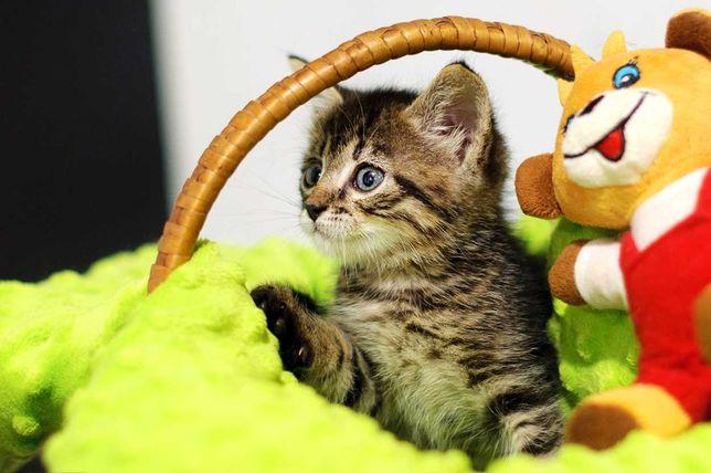 Смугасте та пухнате диво-кошеня Камишенок, 2 міс., кіт, хлопчик кошка