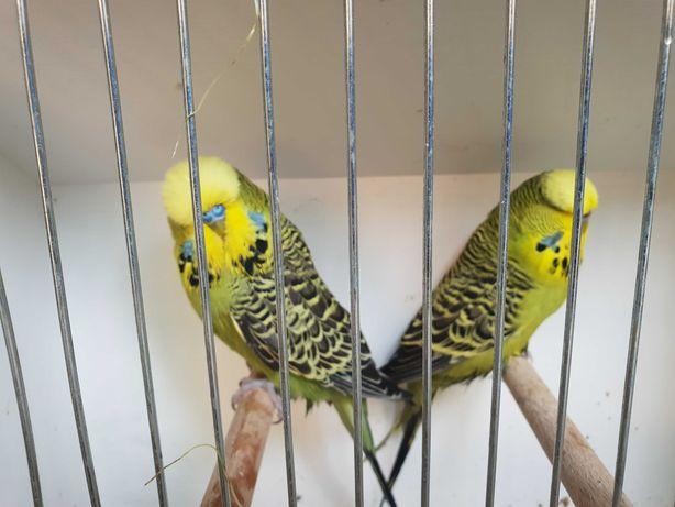 Papugi faliste WPF