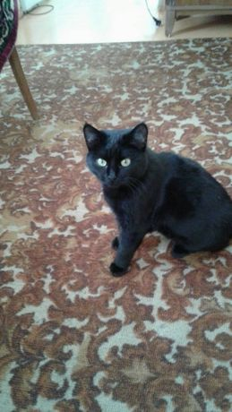 Отдам черного котёнка, девочка, 7 месяцев