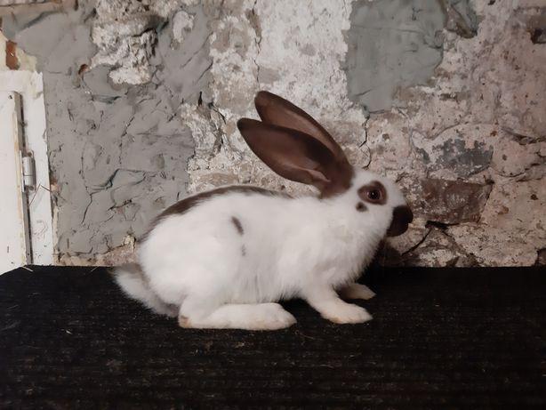 Samiec OSH srokacz hawana samczyk królik