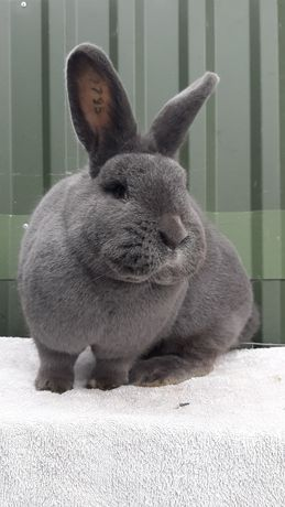 Кролики. Віденські голубі. Венский голубой