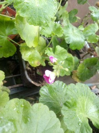 Цветы Герань калачики