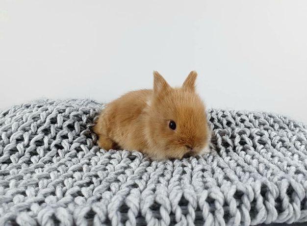 Śliczny królik króliczek rasy Karzełek Teddy !