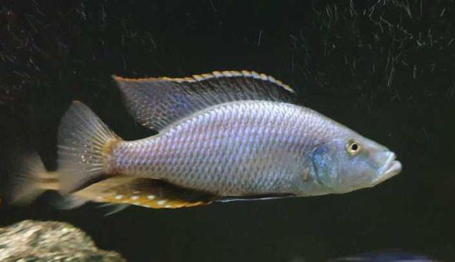 SUPER RYBY Malawi Pyszczaki Pielęgnice Dimidiochromis Compressiceps