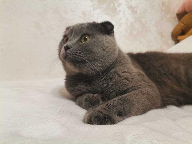 Шотландский вислоухий кот (scottish fold). Вязка.