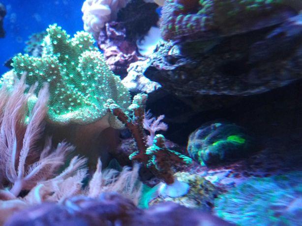 Goniastrea Szczepka koralowca lps