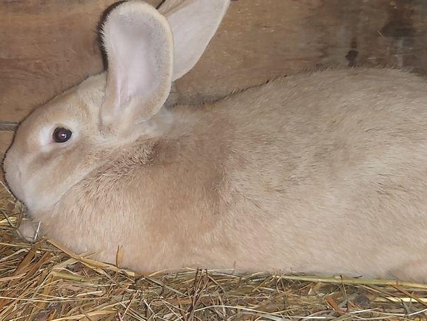 Tuszki królika