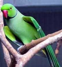 Vendo ou troco ring neck verdes