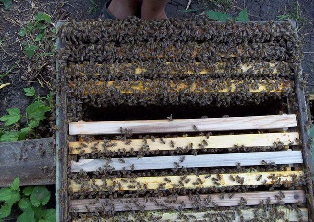 Матки, Пчеломатки Элитные F1 Карніка 2021 Скидки! (Тройзек, Скленар)