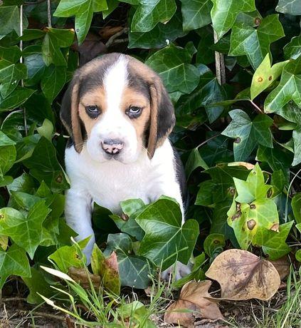 Magnífica Fêmea Beagle com LOP e AFIXO