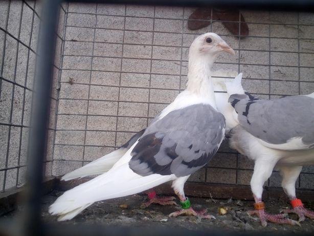 Gołębie 2 samice śląskie tarczowe siwe niebieskie Wysyłka