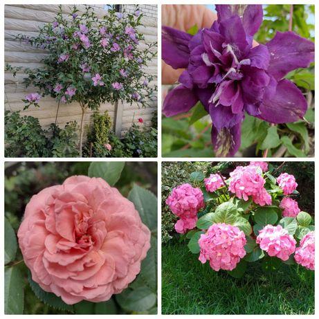 Гибискусы, гортензия,клематис,розы,каприфоль,вичи,осока,лилии,флокс