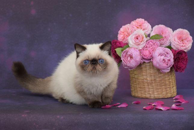 Экзотические короткошерстные котята из питомника