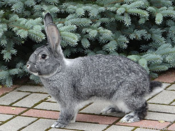 Кролик (шиншилла + фландр)