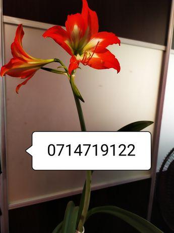 Цветок комнатная лилия
