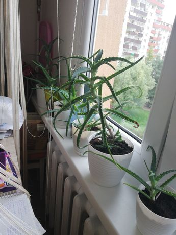Aloes, aloesy sadzonki.