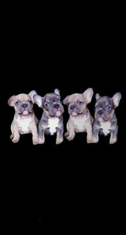 Киев Lilac tan & Cream Lilac puppies