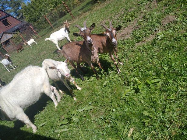 Kozy mleczne zapraszam