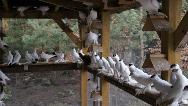 ptaki ozdobne krymka polska