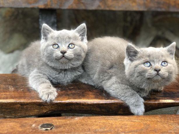 Продаються британські котята